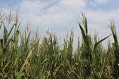 穀物畑 — ストック写真