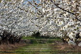 Cherries trees — Stockfoto