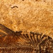 Royalty-Free Stock Photo: Fossil fish detail
