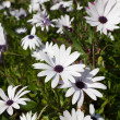 Cape daisies — Stock Photo