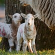 Lambs with mother - Stock Photo