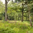 Stock Photo: Woodland glade