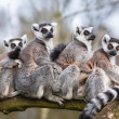 Stock Photo: Lemur family