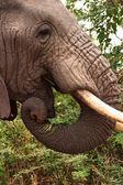Elephant in Ngorongoro Crater — Stock Photo