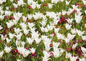 Tulip flowerbed — Stock Photo