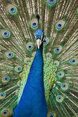 孔雀 — 图库照片