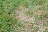 Unhealthy grass — Stock Photo