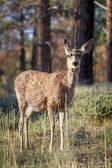 Deer — Foto de Stock