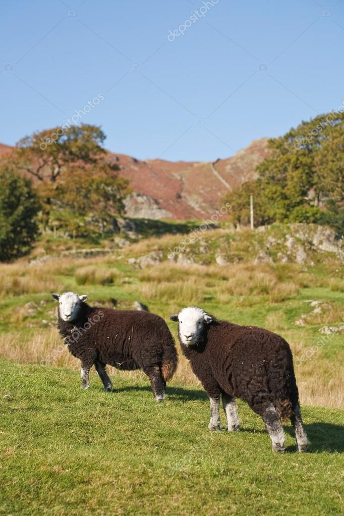 Two Herdwick sheep graze on a hillside in Langdale, Lake District, Cumbria, UK — Stock Photo #13129302
