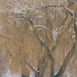 Willow trees in winter — Stock Photo