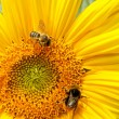 Sunflower and bees — Stock Photo #13203800