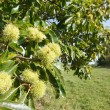 Chestnut tree British countryside — Stock Photo