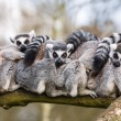 Stock Photo: Lemurs hugging
