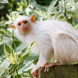 Silvery marmoset - Stock Photo