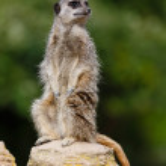 Meerkat sentry — Stock Photo