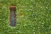 Ivy around window — Stock Photo