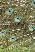 Peacock feathers closeup — Stock Photo