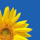 Słonecznik błękitne niebo — Zdjęcie stockowe