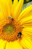 Sunflower and bees — Stock Photo