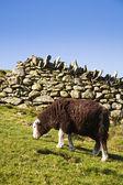 Sheep grazing in pasture — Stock Photo
