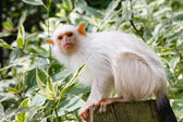 Silvery marmoset — Stock Photo