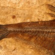 Fossil fish detail — Stock Photo