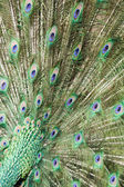 Peacock feathers — Stock Photo