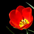 Tulip isolated on black — Stock Photo