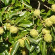 Chestnut tree — Stock Photo