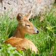 Chinese water deer — Stock Photo