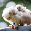 Marmoset family — Stock Photo #14109479
