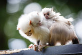 Marmoset family — Stock Photo