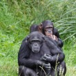 Stock Photo: Chimp chimpanzees