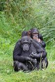 Chimp chimpanzees — Stock Photo