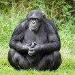 Chimpanzee ape — Stock Photo #21484277
