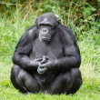 Stock Photo: Chimpanzee ape