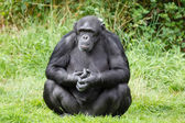 Chimpanzee ape — Stock Photo