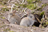 Wild European rabbits — Stock Photo