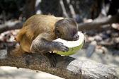 Brazilian Monkey Eating Fresh Coconut — Stockfoto