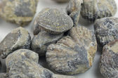 Brachiopod shells — Stock Photo
