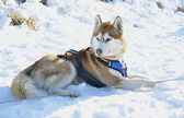 Sportive dog in the snow — Stockfoto