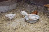 Galinhas no galinheiro — Foto Stock