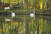 Swans in the pond — Stock Photo