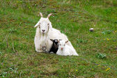 Sheep and her child — Stock Photo