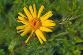 Yellow mountain flower,Arnica montana L. — Stock Photo