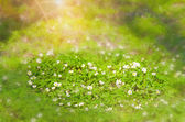 Small meadow flowers — Stock Photo