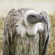 Stock Photo: Scavenger Vulture