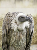Scavenger Vulture — Stock Photo