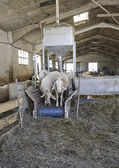 Sheep in stable — Stock Photo