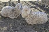 Sheep resting — Stock Photo